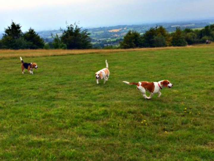 Beagles3