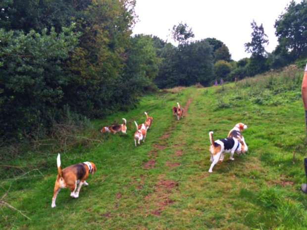 Beagles6